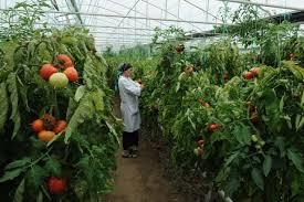 Технопарк для выращивания томатов