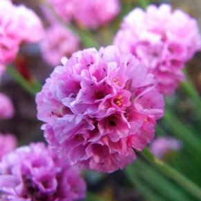 Армерия - растение семейства свинчатковых