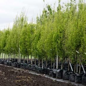 Выбор привитых саженцев плодовых деревьев