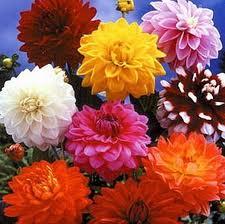Георгину считают национальным цветком