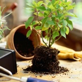 Пересадка комнатных растений в грунт