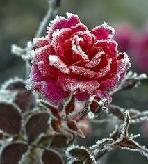 на розах