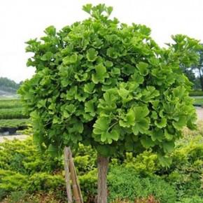 Священное дерево гинкго билоба