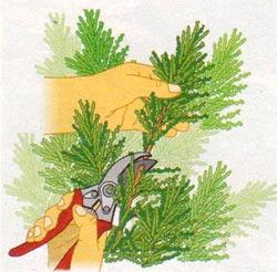 Вегетативное размножение хвойных черенкованием