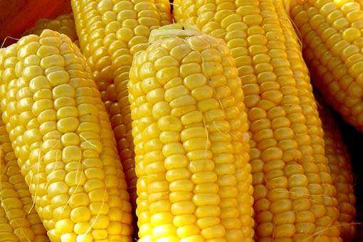 """Гибриды сахарной кукурузы от """"Сингента"""""""