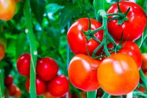 дни для посадки помидор
