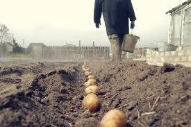 посадки картофеля