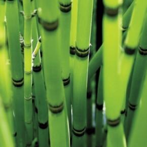 Как ухаживать за комнатным бамбуком