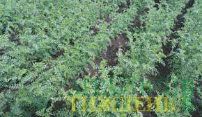 Влияние бактеризации на урожайность нута